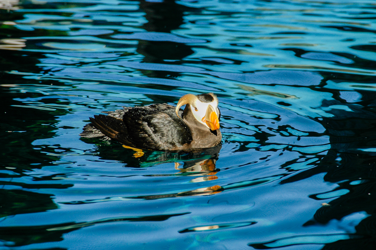 A reflection on sea birds from the north, specifically Alaska, including puffins, glaucous-winged gulls, black-legged kittiwakes, and murres.