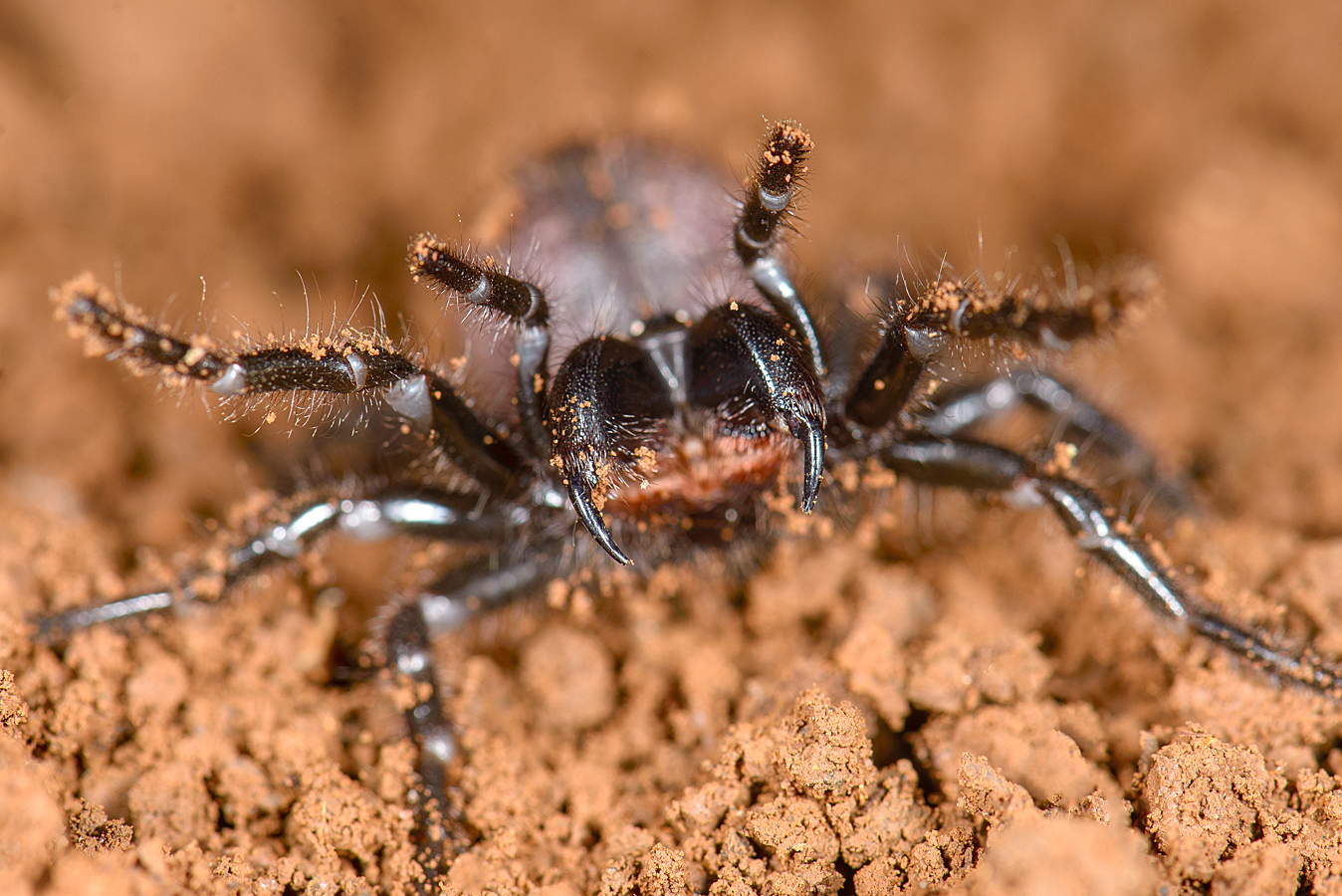 A new study has found that two families of extremely venomous Australian spiders are more closely related than previously thought.