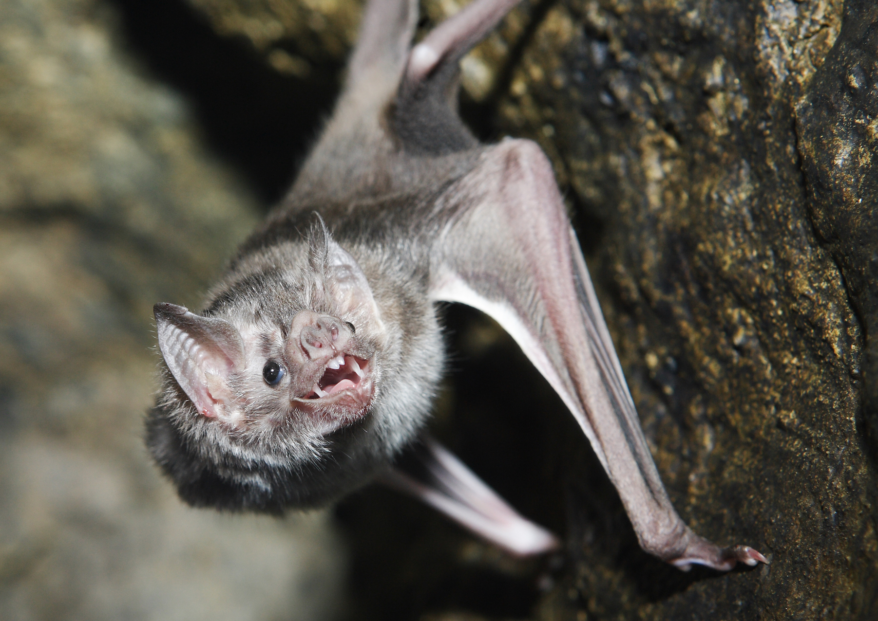 A new study has revealed the genomic and microbial adaptations that have enabled vampire bats to survive exclusively on blood.