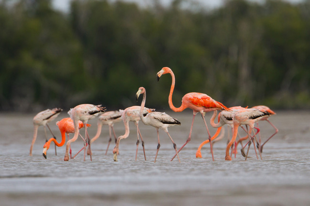 After a comprehensive review of historical evidence, researchers are reporting that American Flamingos are native to the state of Florida.