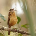 Researchers have identified songbirds that perform highly complex duets with alternating parts for males and females.