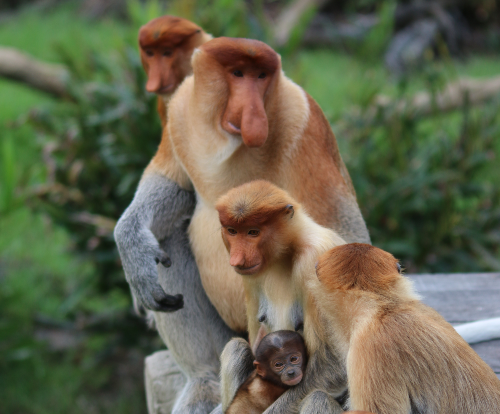 For proboscis monkeys, nose size matters, as larger noses are an audio-visual indicator of the male's strength and virility.