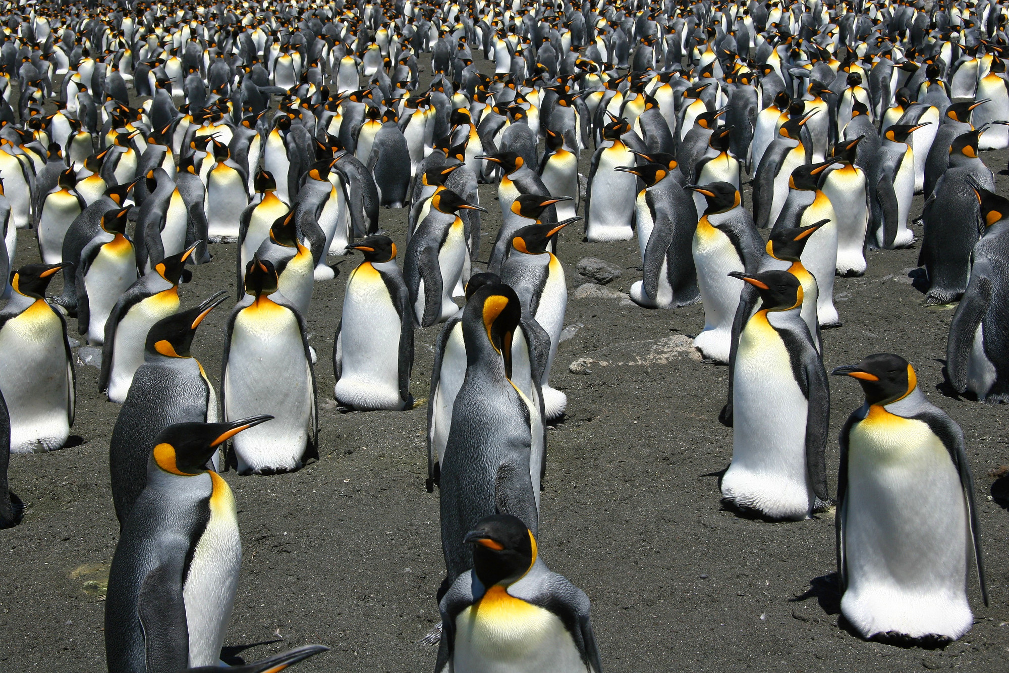 Researchers from the University of Vienna are describing the challenges faced by King penguins as the climate changes across the Antarctic region.