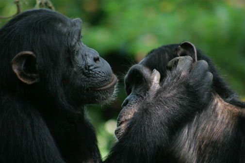 New research has revealed that many of the gestures that bonobos and chimpanzees use to communicate actually share the same meaning.