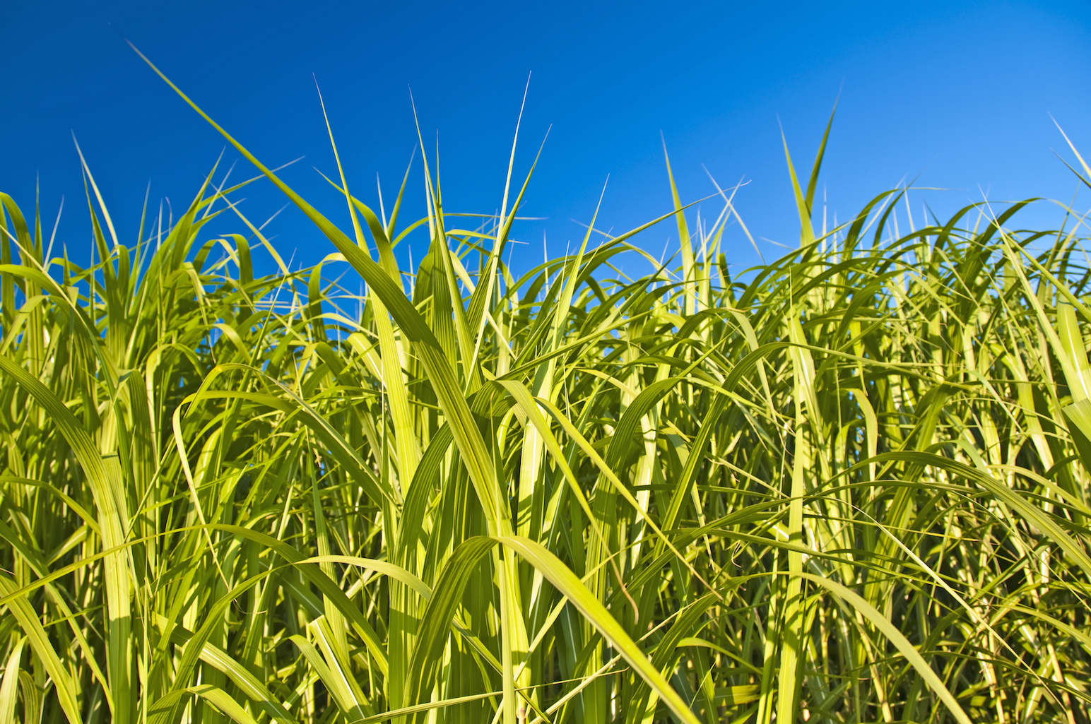 Researchers from Colorado State University have found that switchgrass may be an attractive new option for the creation of biofuel.