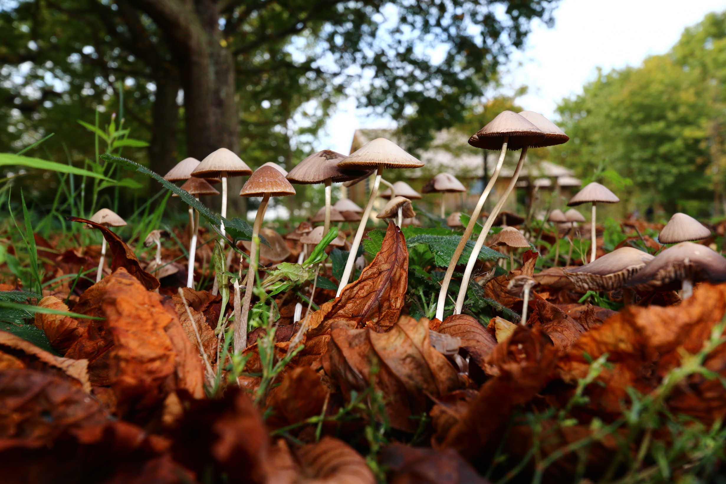 Experts have found that the genes responsible for the psychedelic compound psilocybin in magic mushrooms may have been adapted as a defense mechanism against fungus-eating insects.