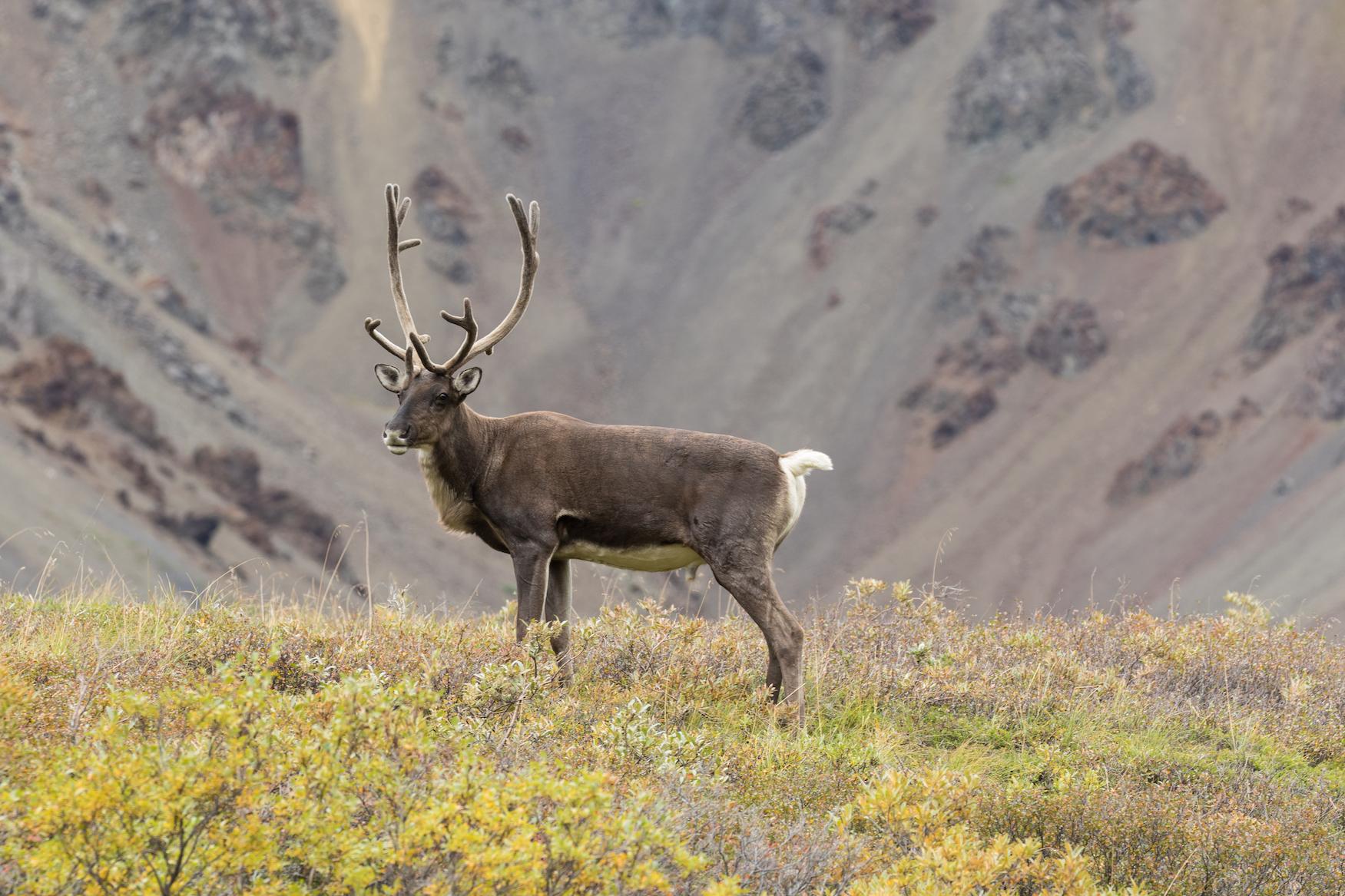 Caribou Bull, Denali National Park, Alaska без смс