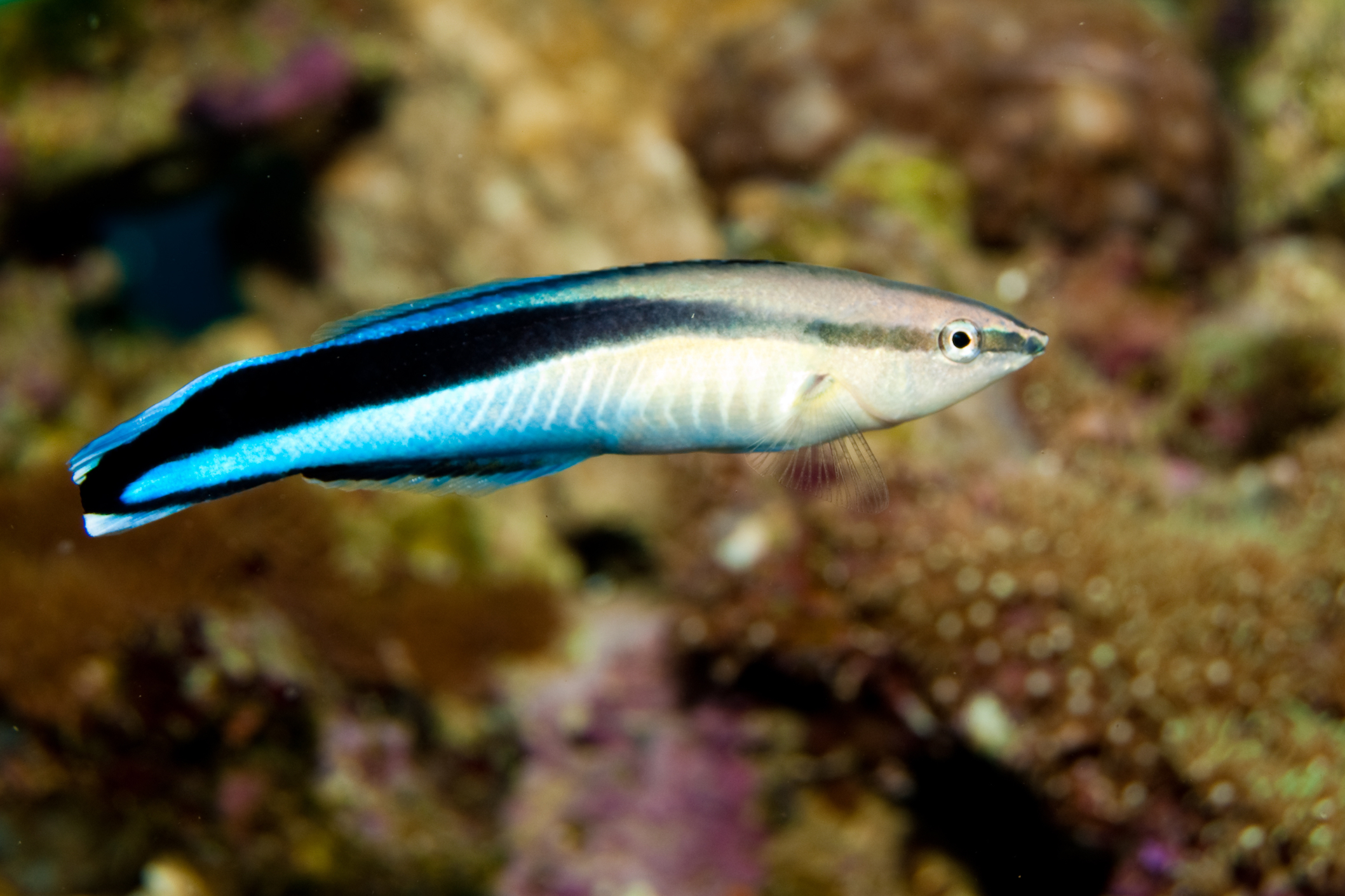 How paraste eating cleaner fish keep sea fish healthy and for Which fish is healthiest