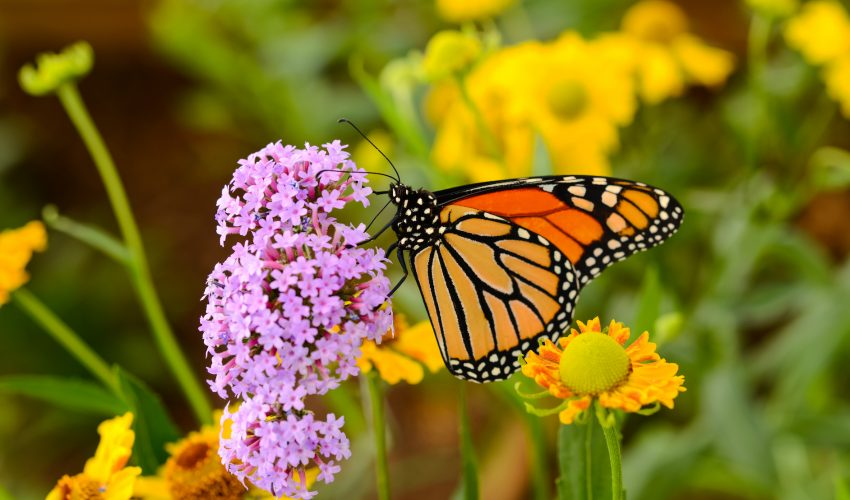 The number of monarch butterflies spending the winter in Mexico are down for the second straight year in a row.