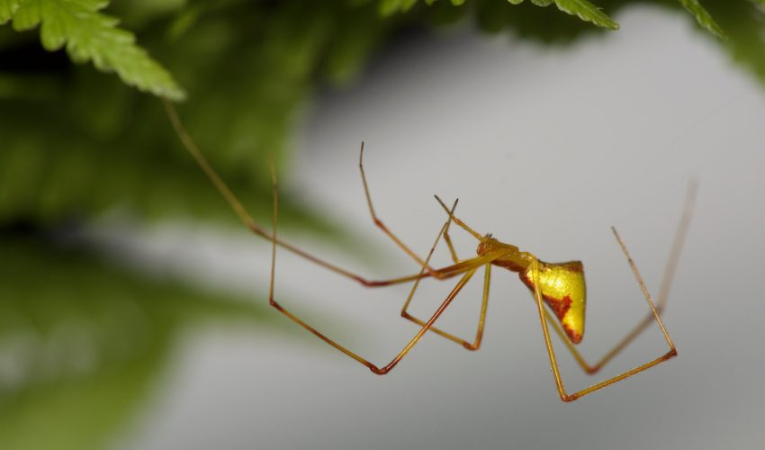 An evolutionary phenomenon known as adaptive radiation has led to the emergence of 14 species of the Hawaiian Ariamnes stick spider across the islands.