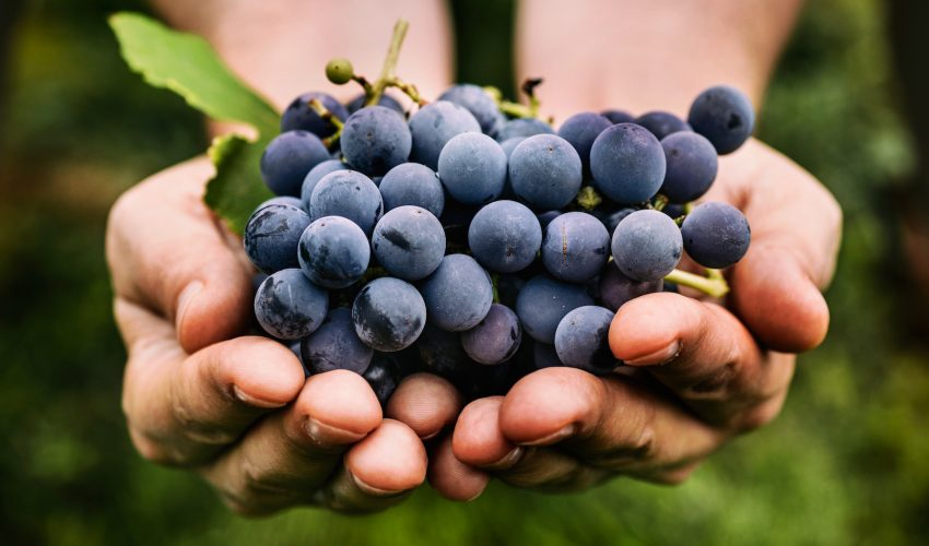 A research team is working to transform grape waste into a renewable resource that can produce antioxidants, grape oils, and dietary fibers for health products.
