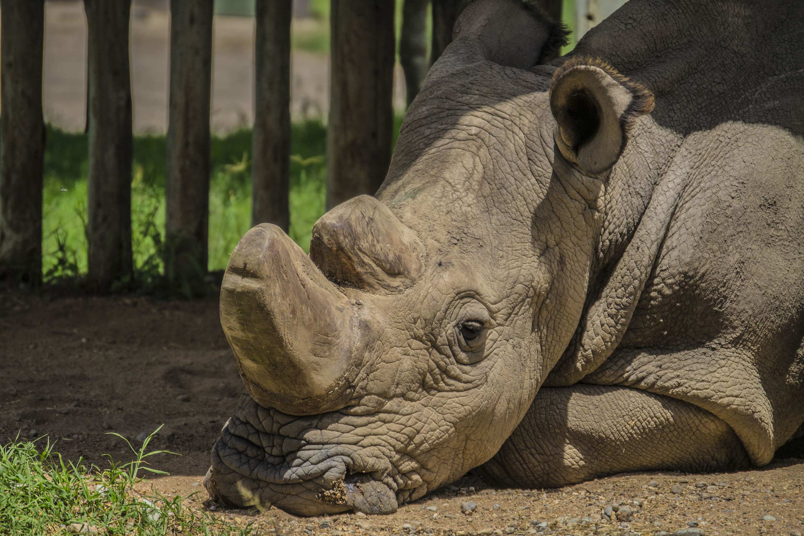 Scientists are scrambling to save the northern white rhino species after the last known male of the subspecies died on Monday.