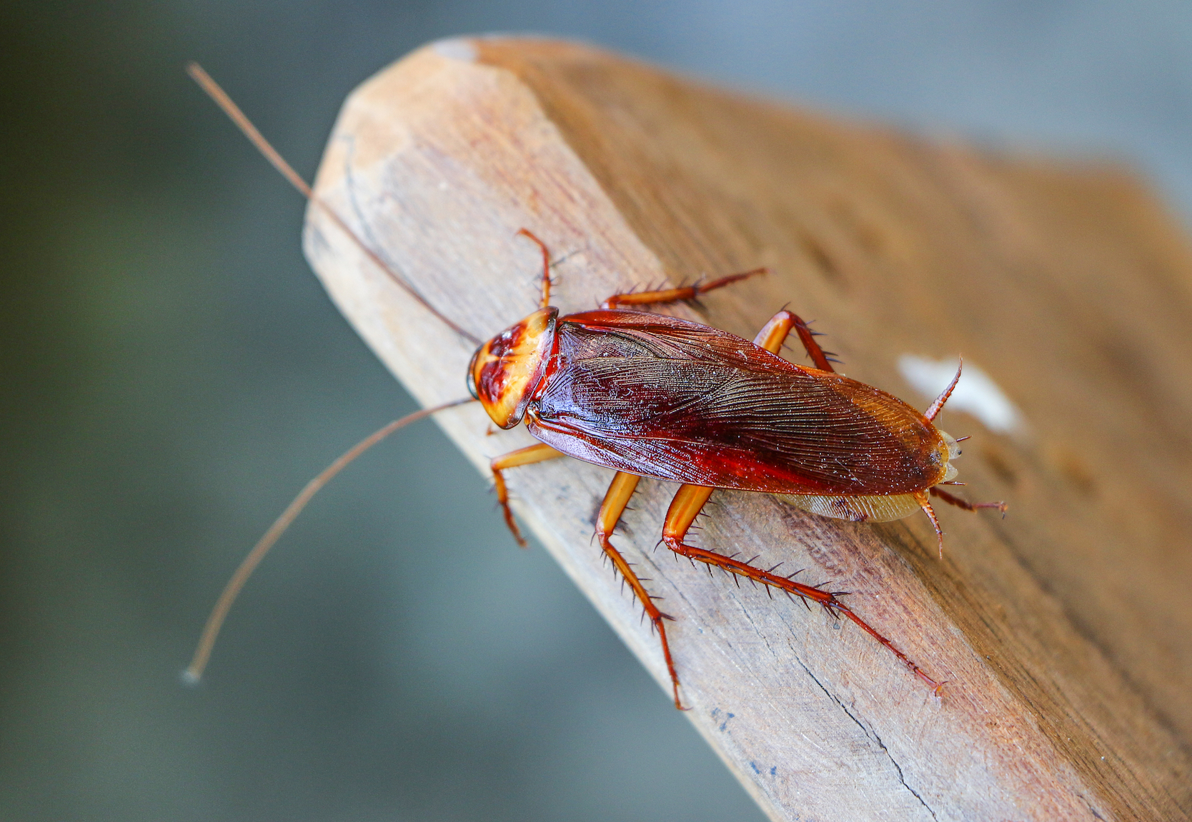 Researchers have discovered why cockroaches are so resilient and frankly difficult to kill, and the answer lies in their genes.