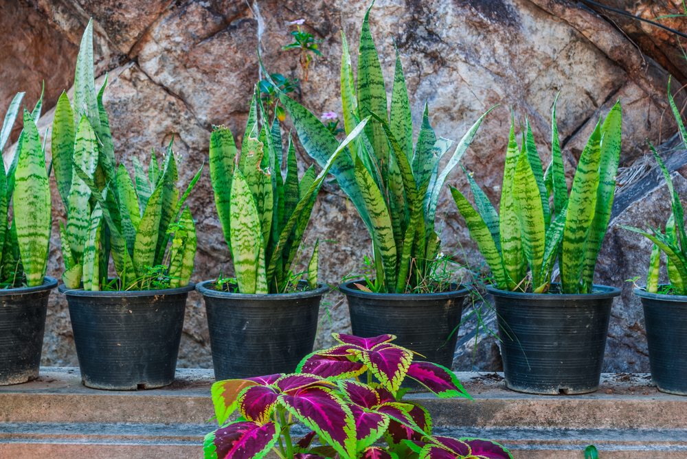 Sansevieria, aka snake plants, make great low-light houseplants.