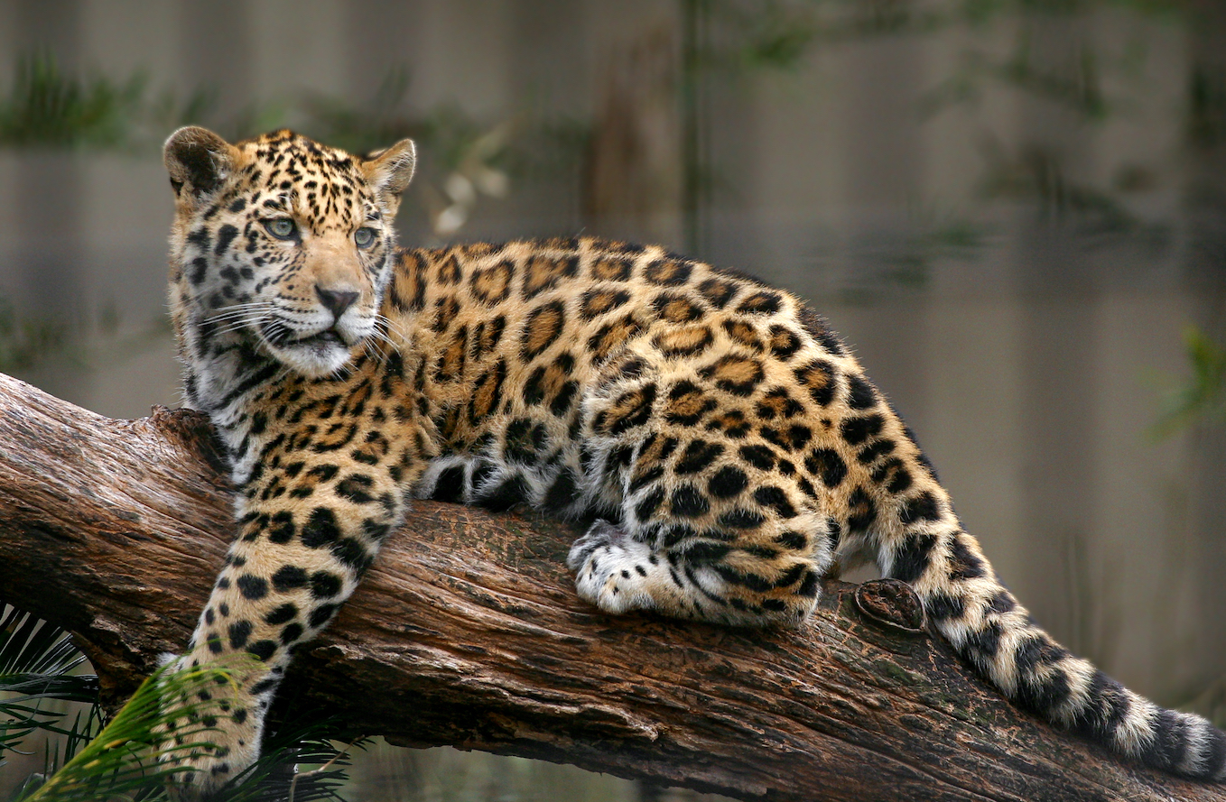 A new study reviewing well-managed logging concessions in Peru and Guatemala found that jaguars do well if policies are put in place to strictly regulate logging areas.