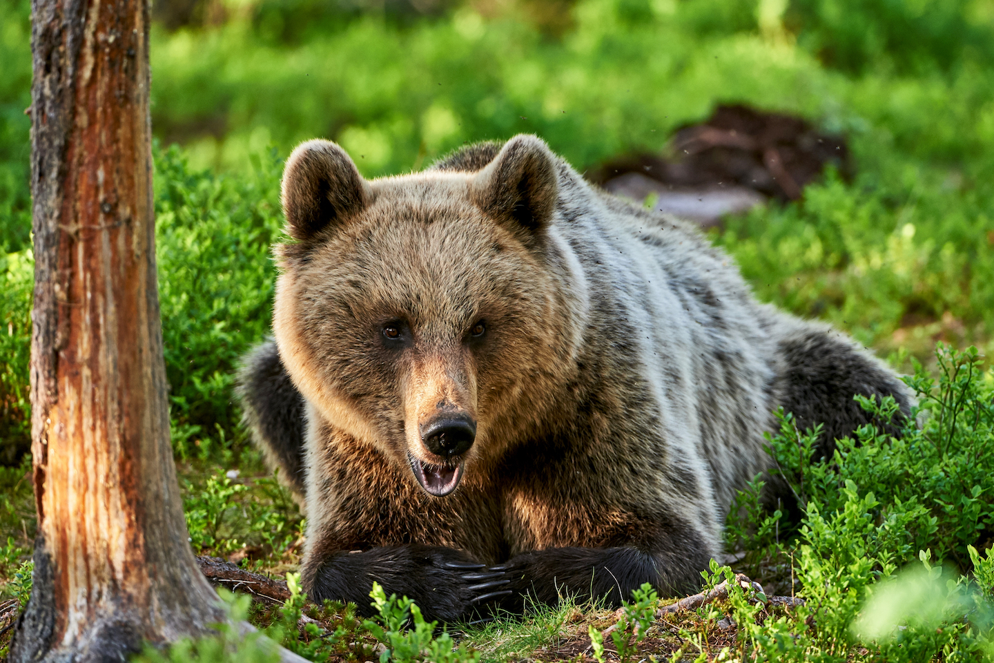 Human activities have altered the natural behavior of the Scandinavian brown bear, as hunting pressure has not only changed the way a mother cares for her cubs, but also how often she reproduces.