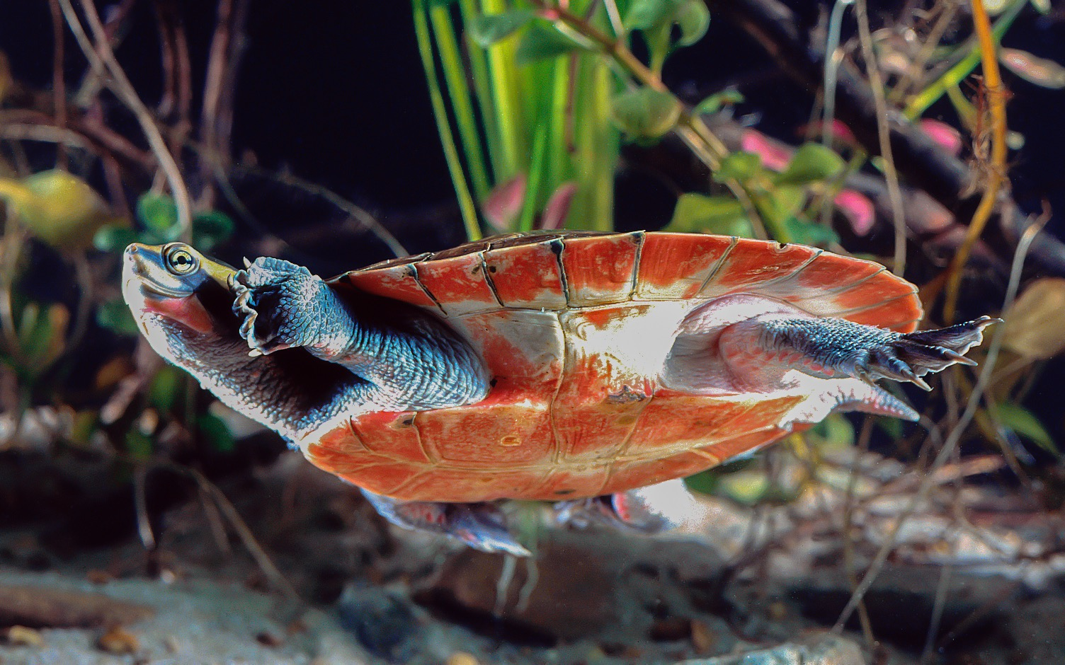 Biologists at the University of California, Davis are reporting that 90 percent of the world's coastal freshwater turtles will struggle with rising sea levels by the end of this century.