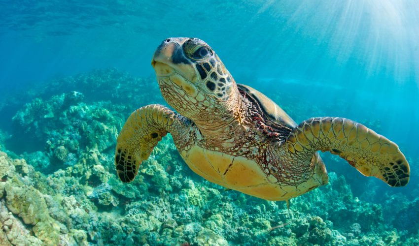 Even though sea turtles have flippers for the purpose of guiding their movement, a new study has revealed that they also use their flippers to handle prey.
