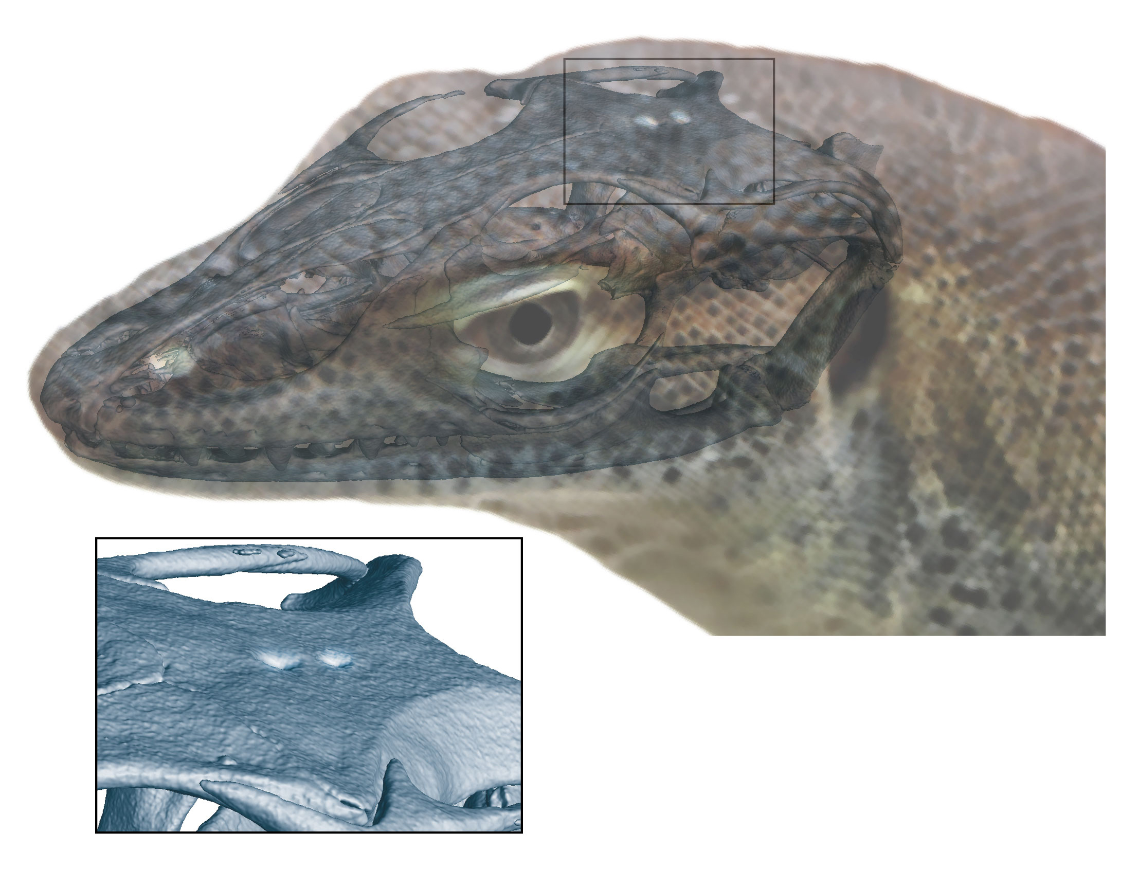 An extinct species of monitor lizard had a third and fourth eye, giving new insight into the evolution of eye-like structures located on the top of the head.