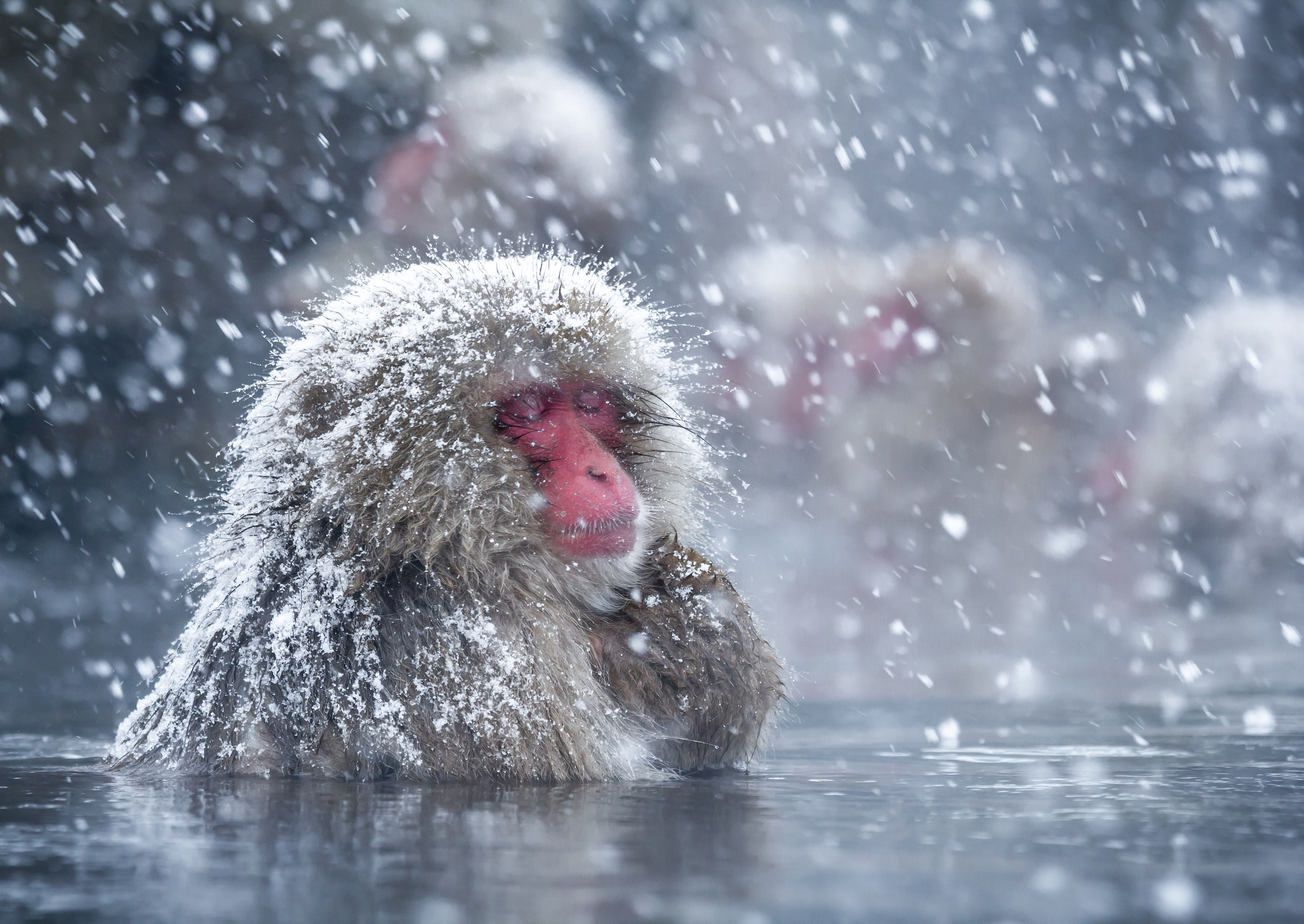 Japanese snow monkeys have been bathing in a natural hot spring at Jigokudani for decades, and the baths have even become a popular tourist attraction.
