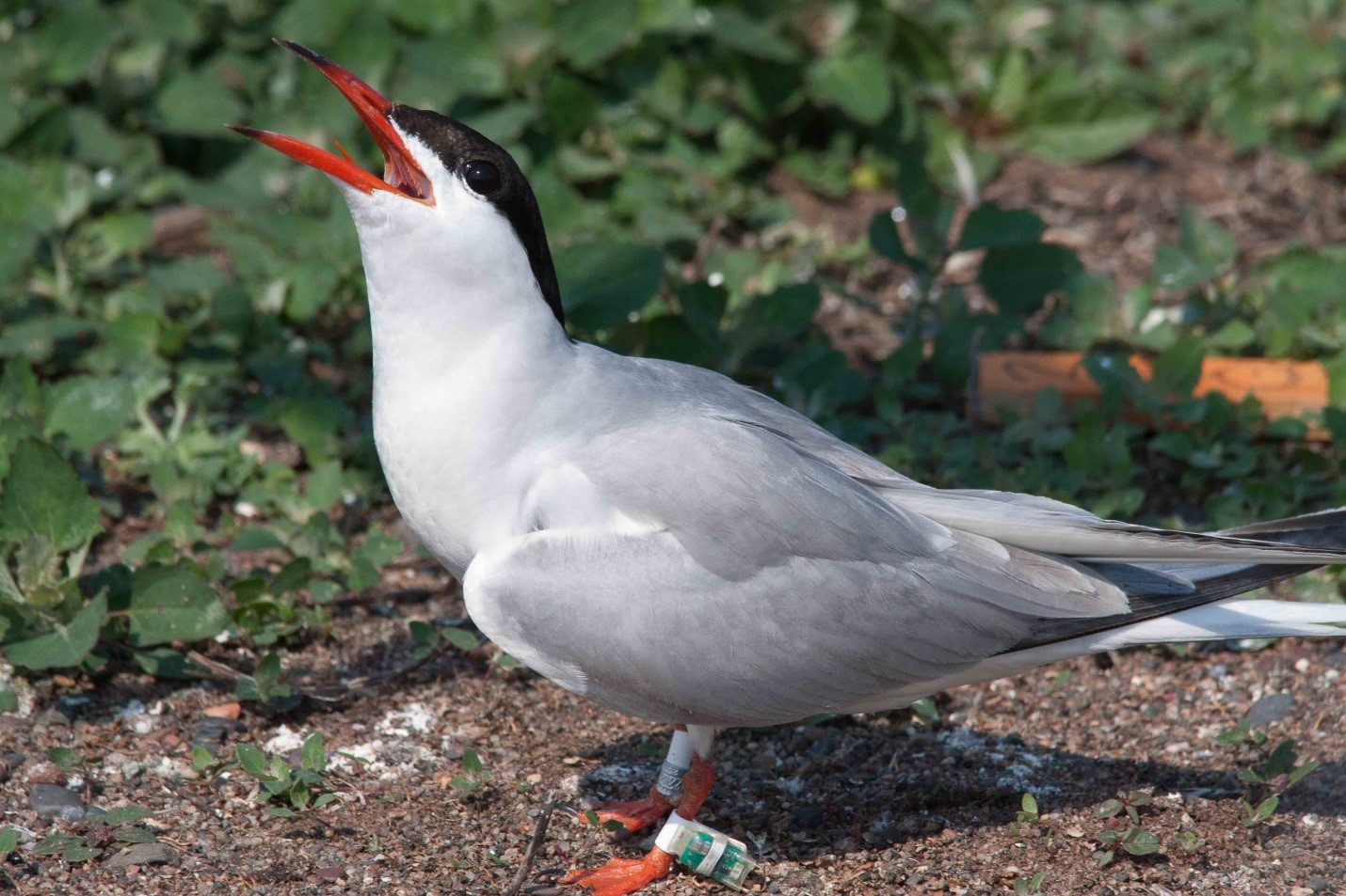 The Common Tern is one of the most predominant species of tern in North America, but the birds' breeding colonies appear to be suffering despite conservation efforts.