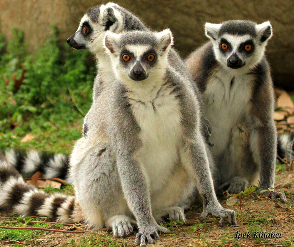 Researchers have recently discovered that lemurs who spread information and teach new behaviors are also more socially connected.