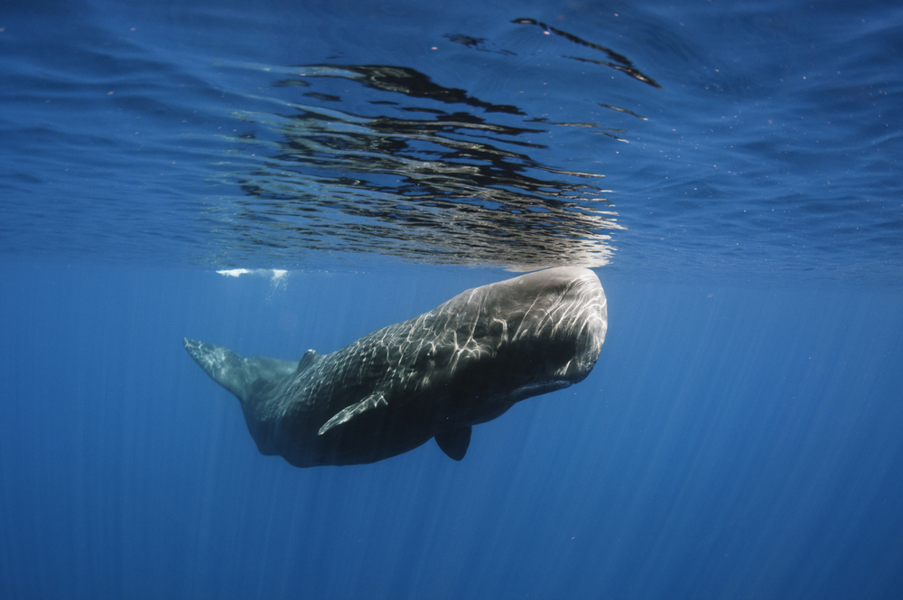 Scientists investigating the death of a young sperm whale discovered 64 pounds of plastic and trash in its digestive system.