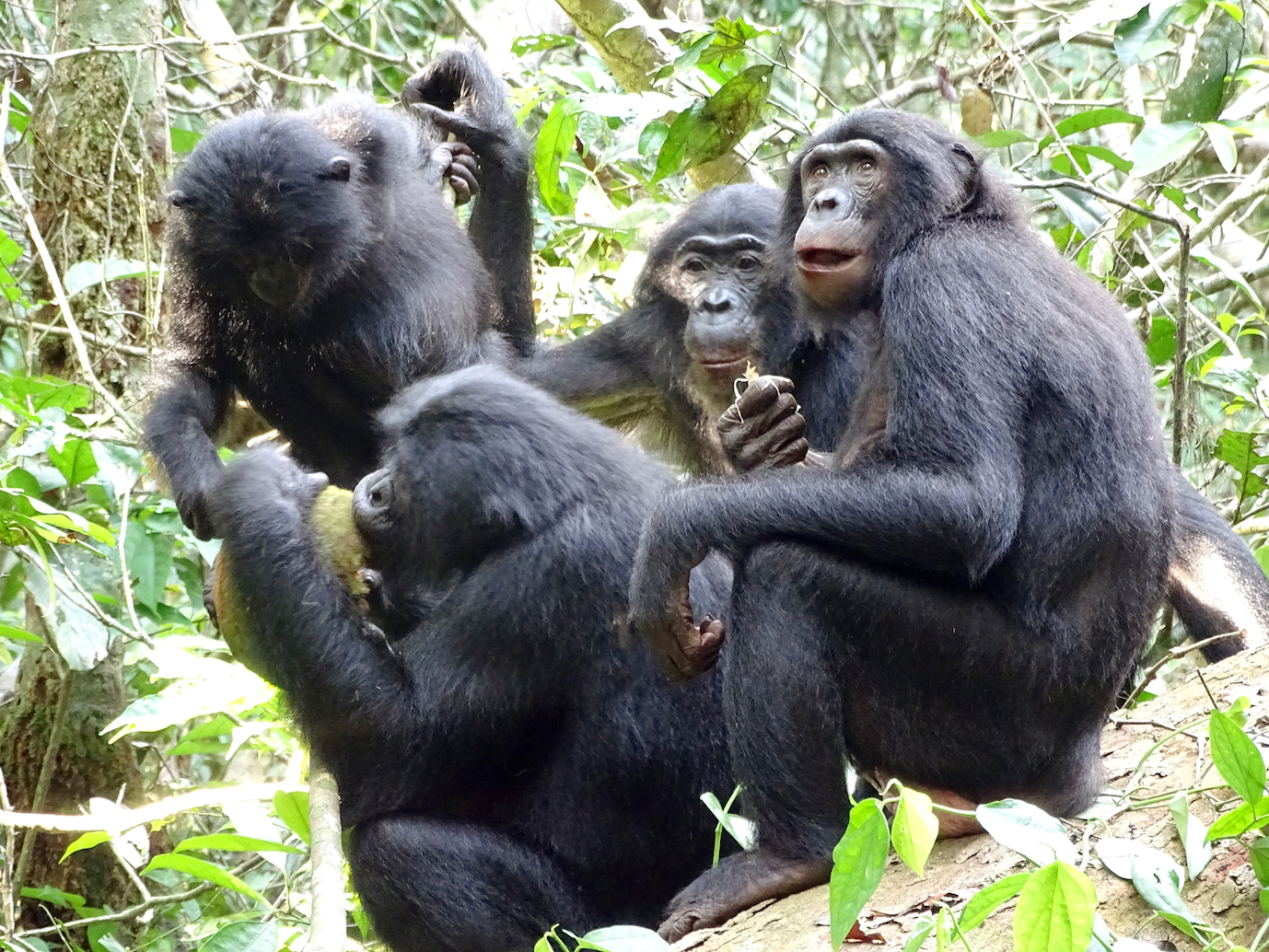 For the first time, researchers have discovered that bonobos share their food with members of other social groups as well.
