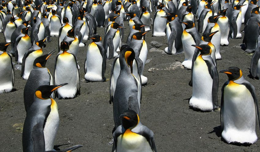 King penguins move throughout their breeding colonies the same way that particles move in liquid to stay united and protect themselves against predators.
