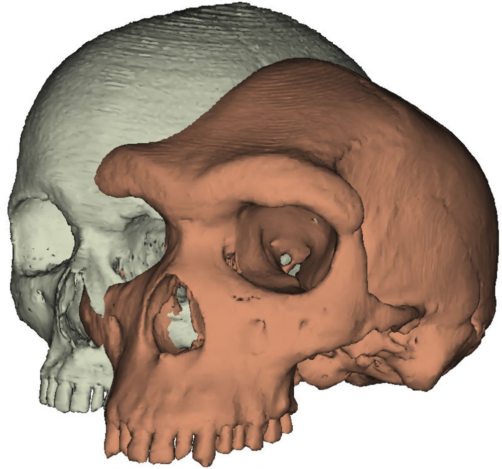 Eyebrows on fleek: Model of a modern human skull next to Kabwe 1. Exchanging brow ridges for flat foreheads and expressive eyebrows may have helped modern humans thrive where other hominid species did not.