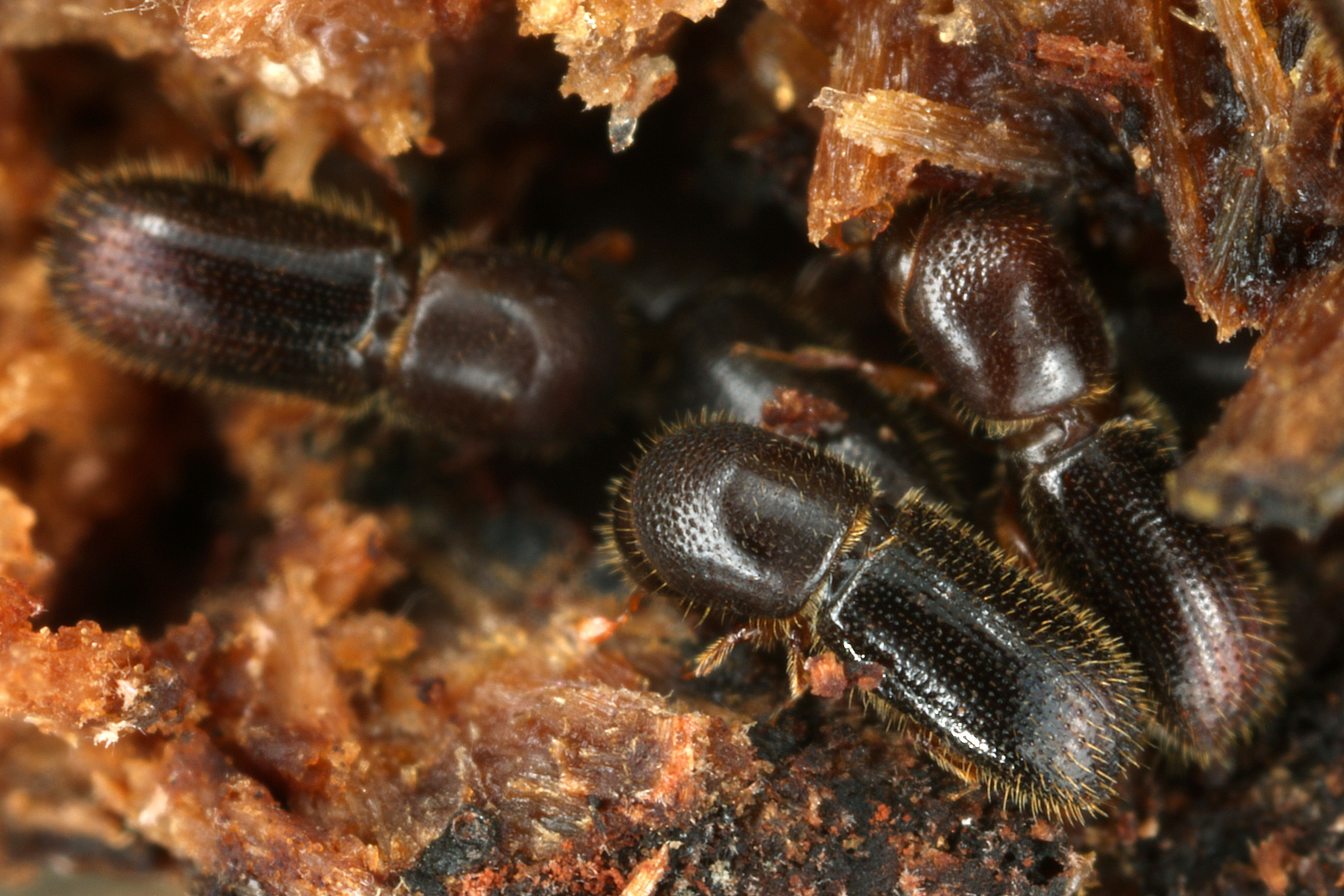 Researchers have learned why alcohol attracts certain beetles and the important symbiotic relationships these beetles have to their fungi crops and habitat.