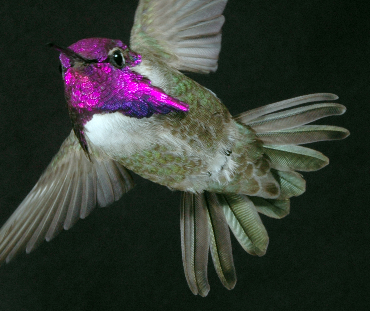 """According to a new study, male Costa's hummingbirds perform a strategic dive during which they """"sing"""" to females using their tail feathers."""