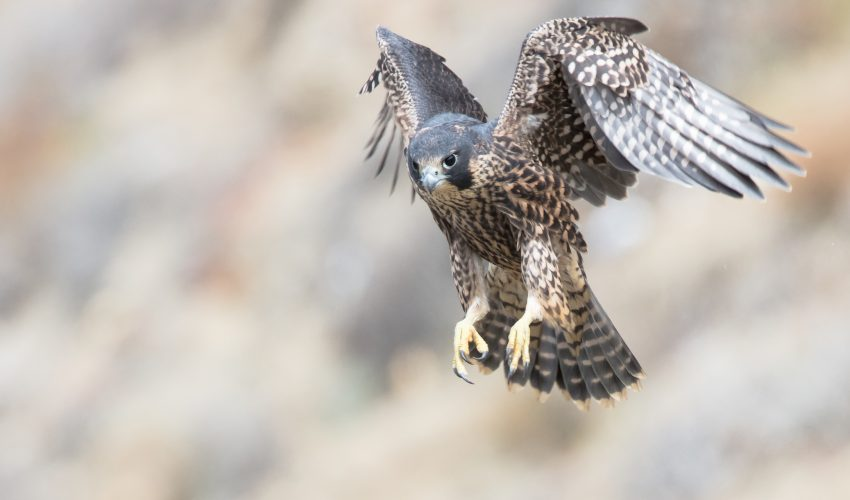 Peregrine falcons catch their prey by diving from enormous heights and reaching speeds faster than any other animal on the planet.