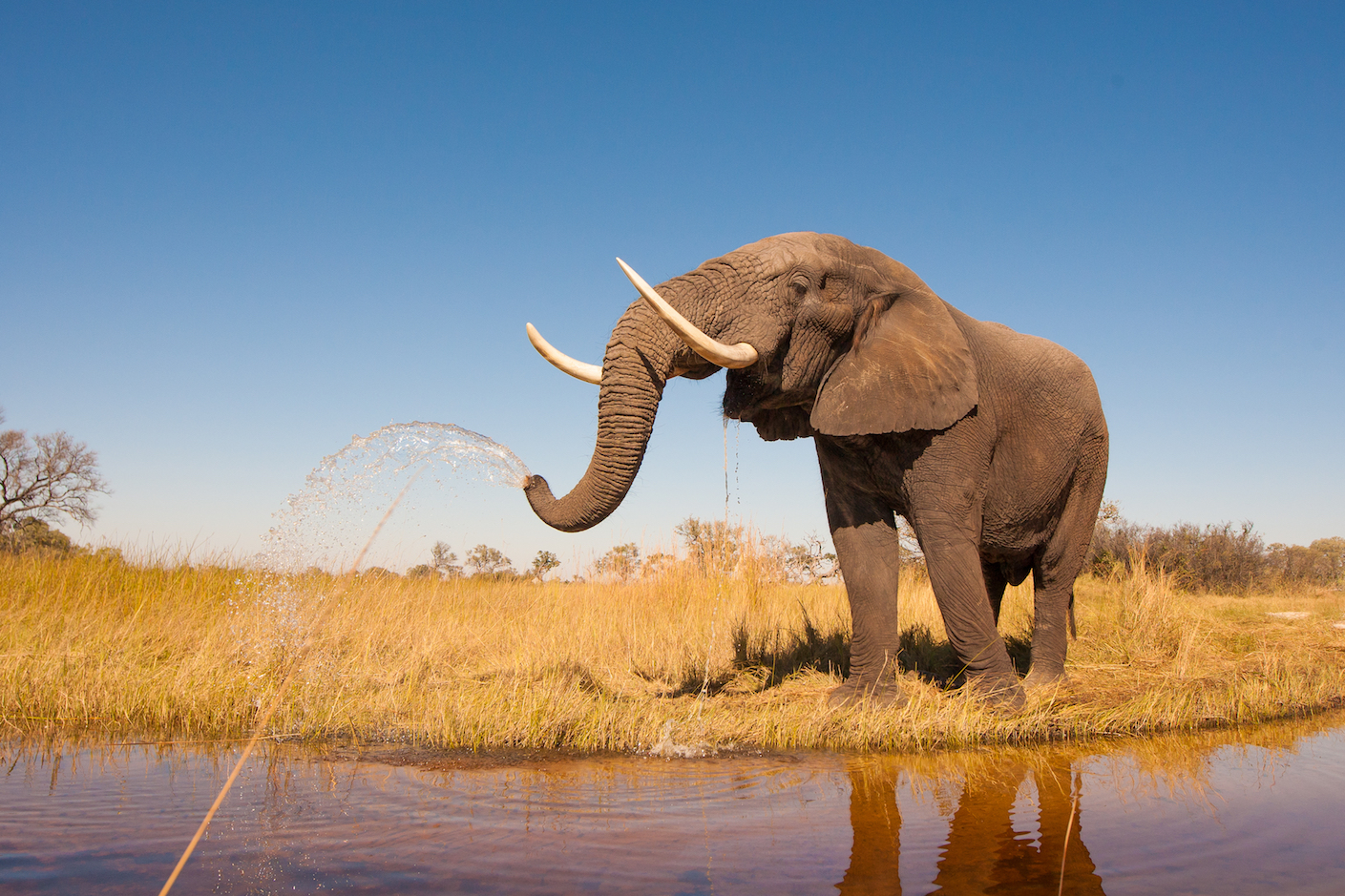 Elephant populations in Africa may be on the long road to recovery after years of poaching and illegal ivory trading have devastated the animals.