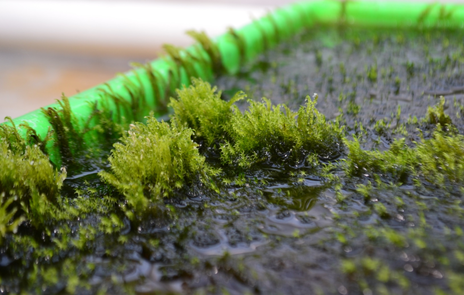 Researchers at Stockholm University have discovered a type of moss that can eliminate arsenic from water.