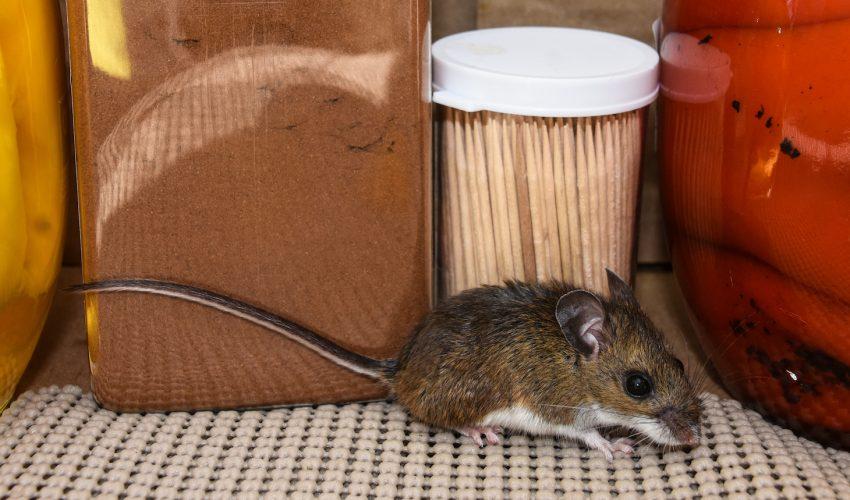 In 4 Mice In NYC Full Of Drug-Resistant Bacteria