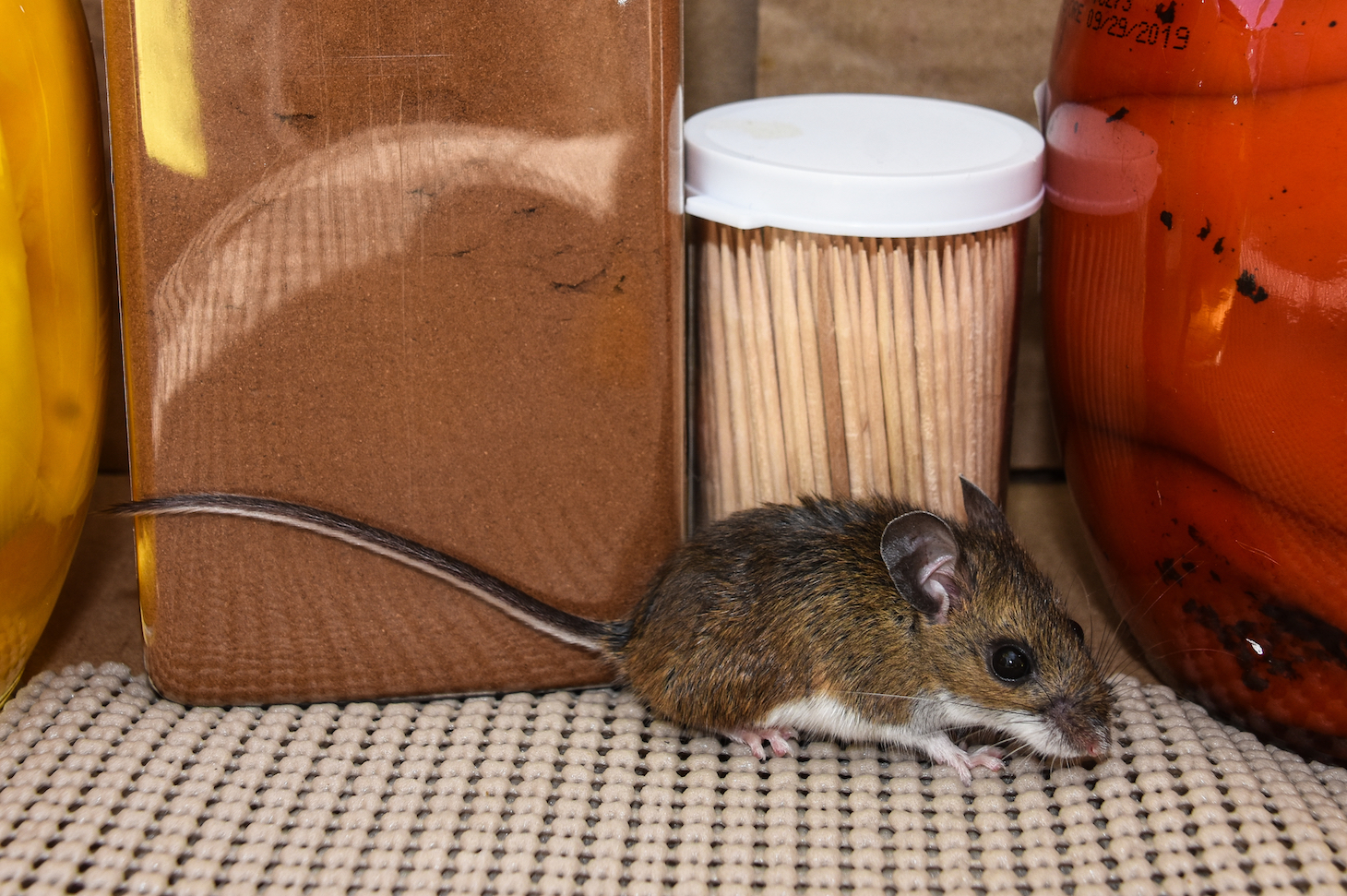 A new study has found that mice in New York City carry potentially harmful disease-causing gastrointestinal bacteria which may be resistant to antibiotics.