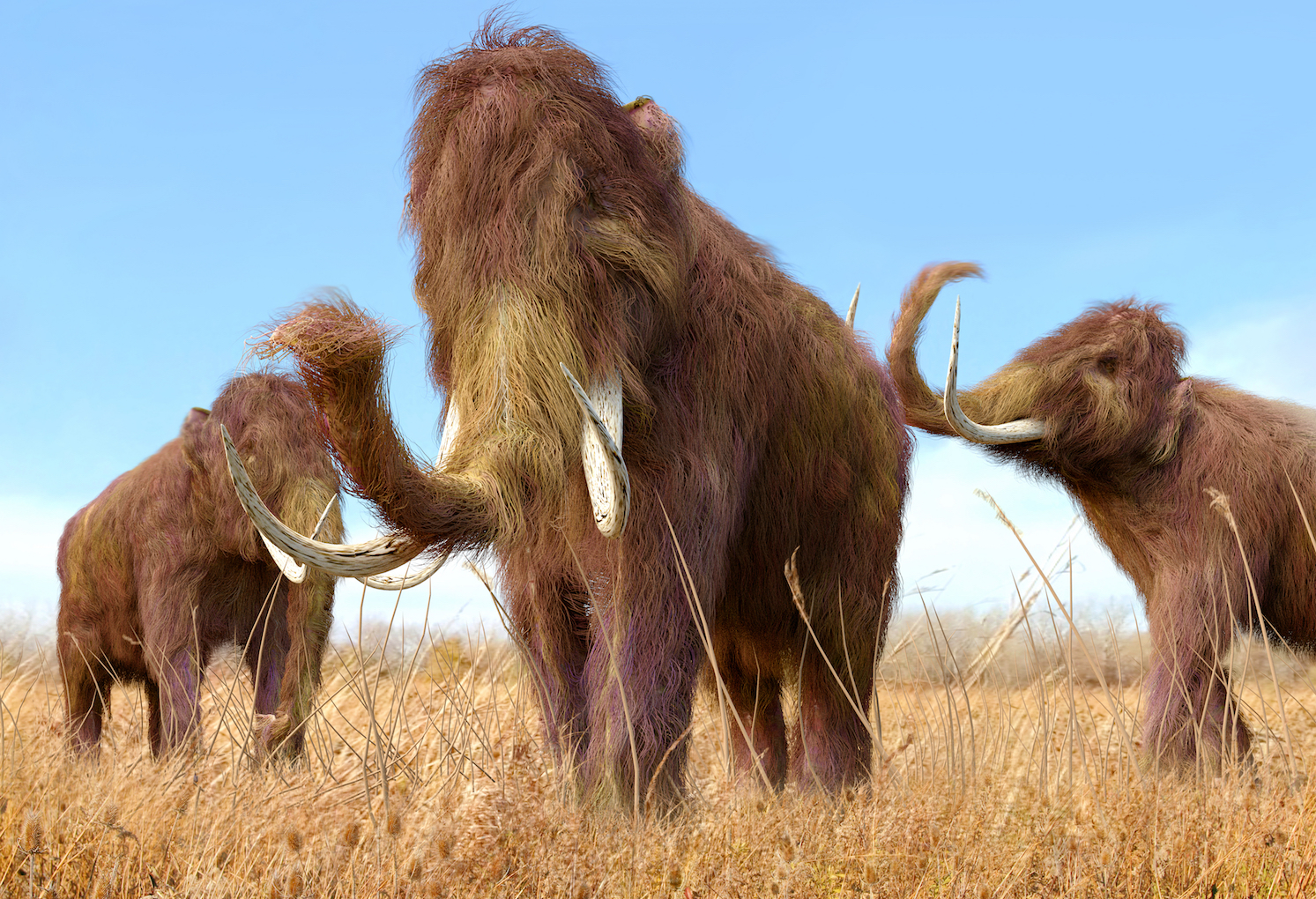 Harvard University scientists are planning to clone woolly mammoths and bring them back from extinction by using DNA from a 42,000 year-old frozen woolly mammoth, of course!