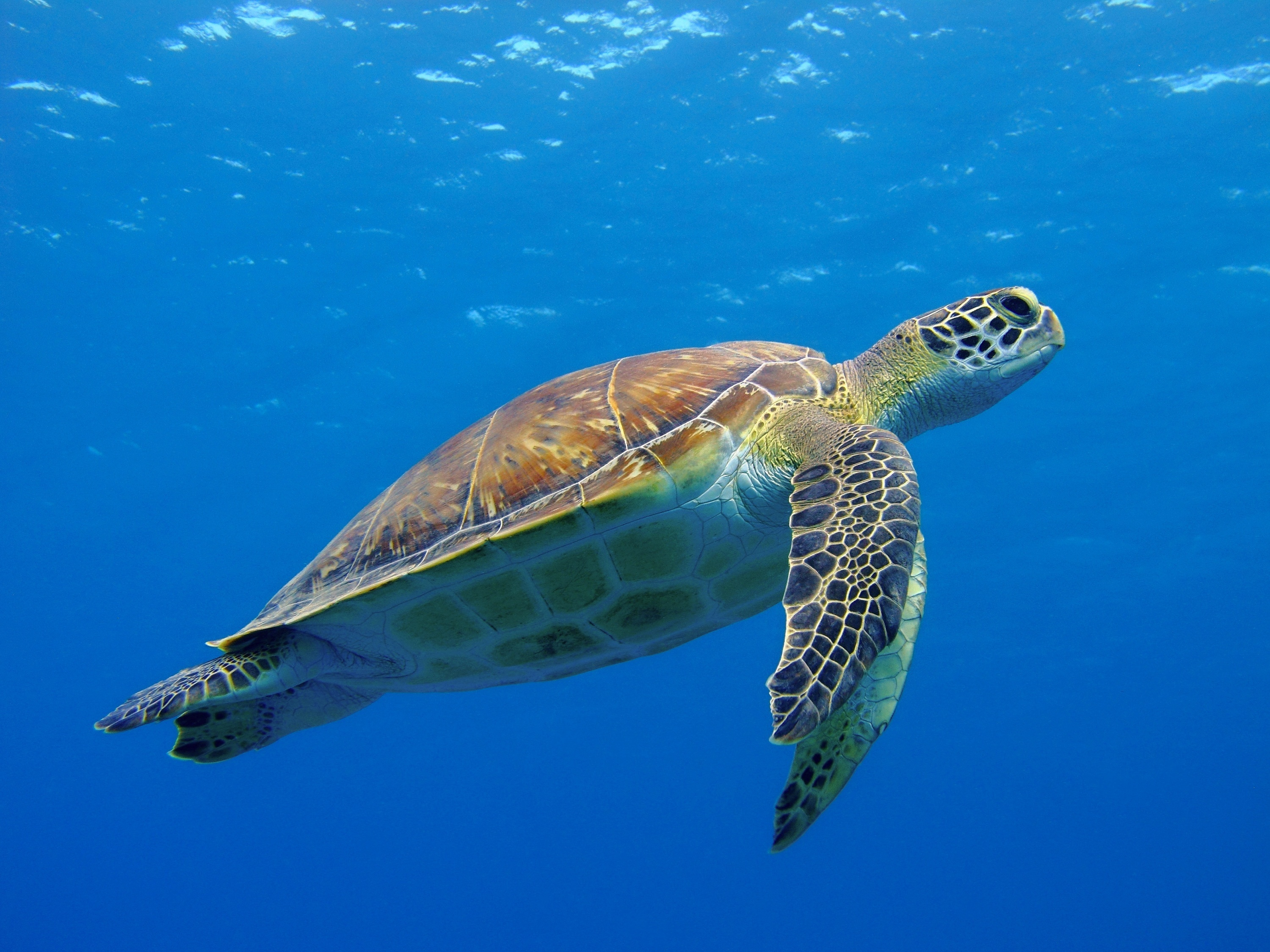 Researchers examining fossils in Alabama discovered a new species of sea turtle from the Late Cretaceous epoch.