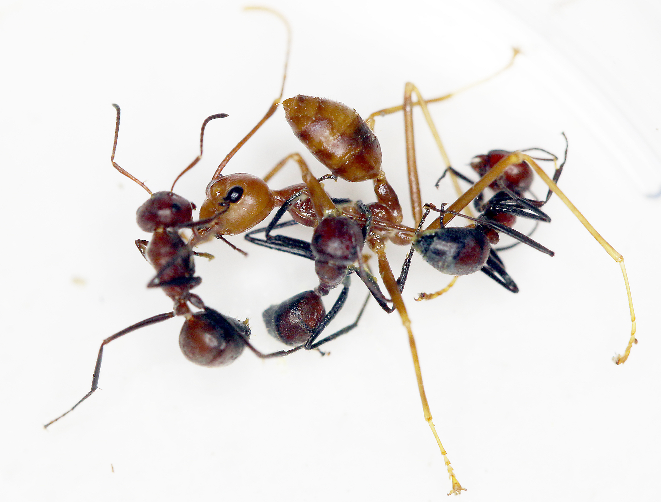 "When threatened by intruders, these ants ""explode,"" or purposefully break apart their body wall as a defensive mechanism."