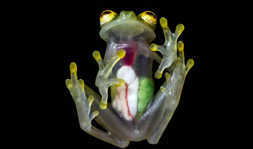 Glass frogs are found in the rainforests of Central and South America and remain one of nature's more fascinating oddities. It's name perfectly matches its physical appearance, with translucent skin so clear you can see the frog's organs.