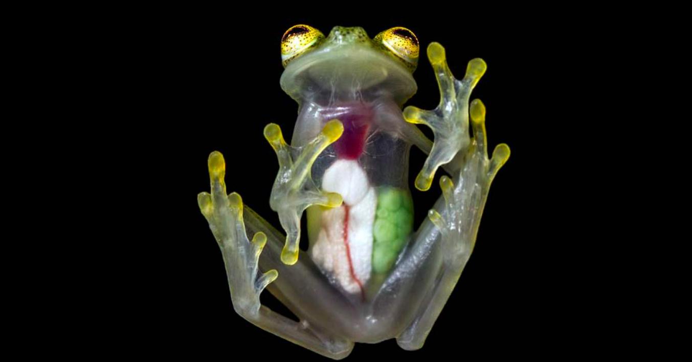 Image result for Translucent frog