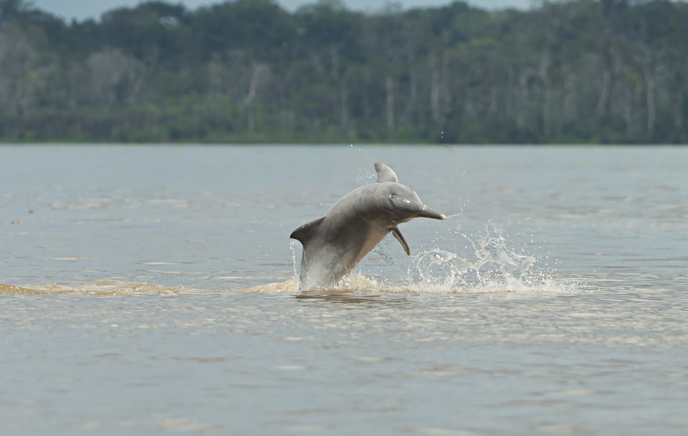 Populations of freshwater dolphins in the Amazon basin are declining at an alarming rate, according to a new study.