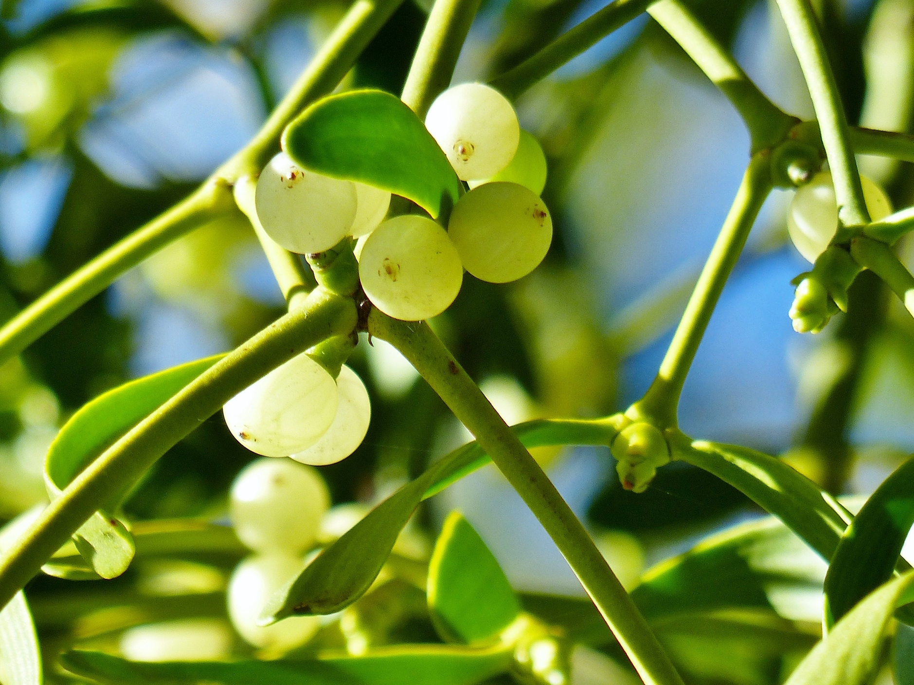 Scientists have recently discovered that the parasitic nature of mistletoe has caused the plants to evolve without specific components that are required for plant respiration.