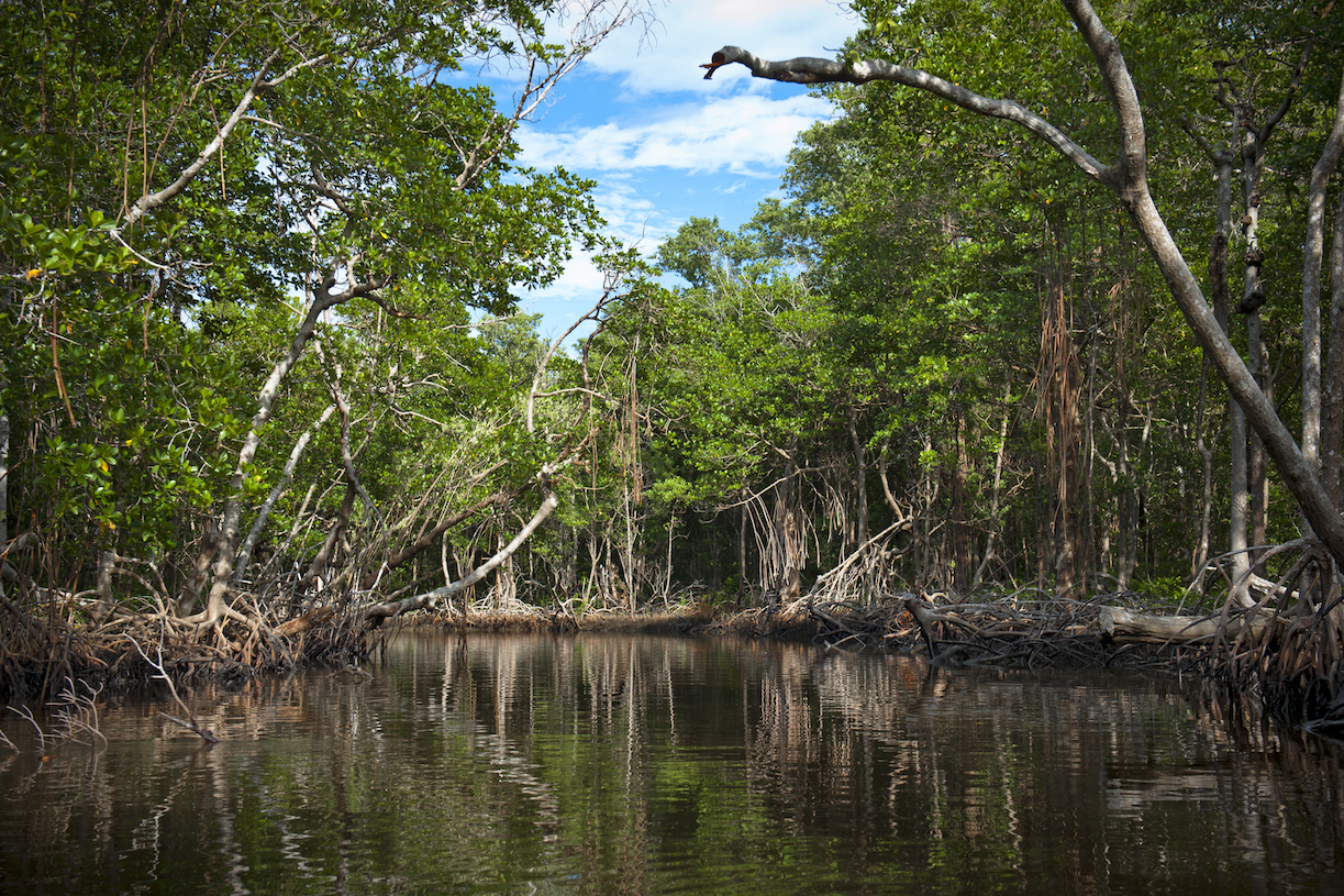 Florida's mangroves, a vital part of the ecosystem of the Everglades, could soon be completely submerged due to sea level rise, according to a new report.
