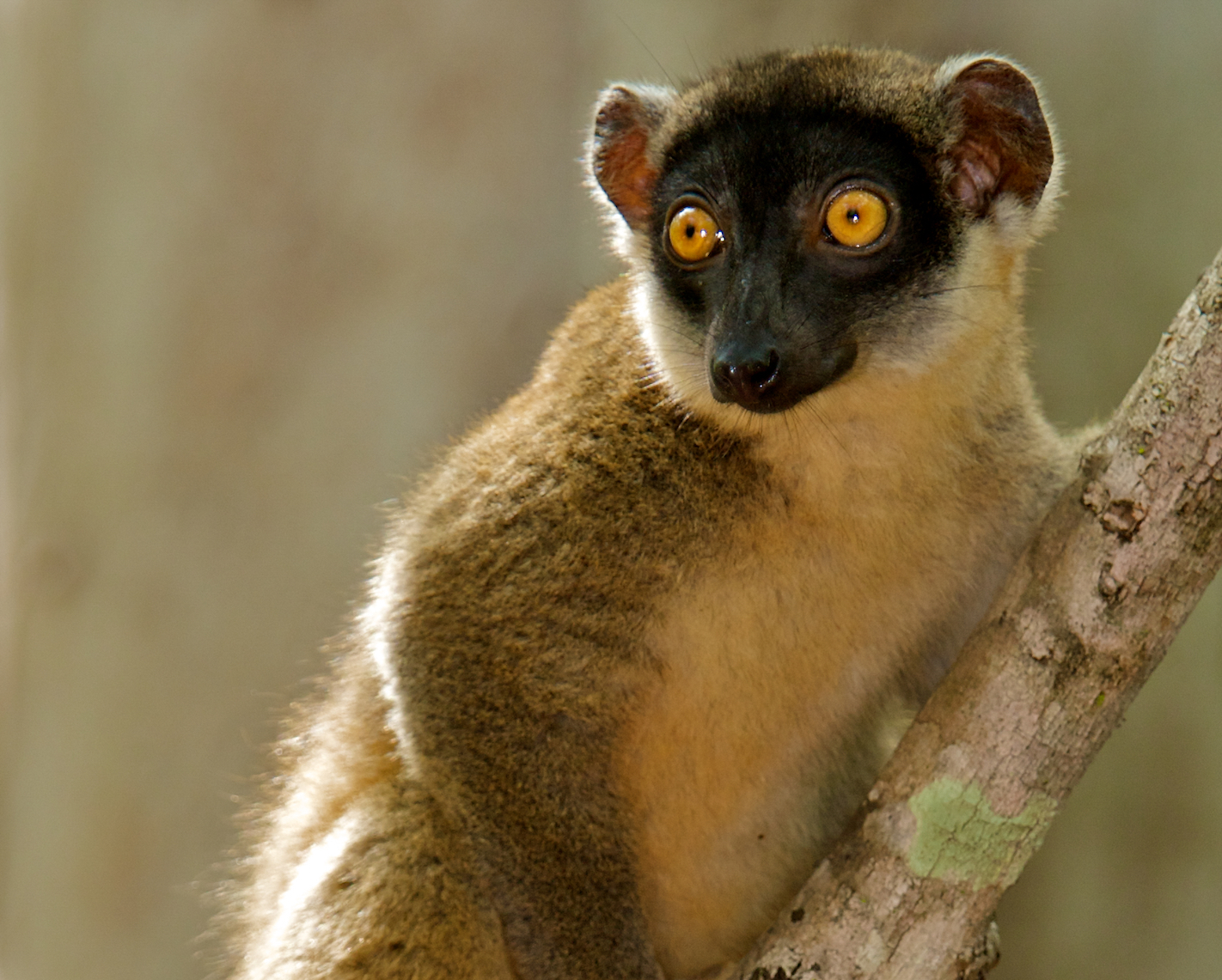 Lemurs can only be found in the forests of Madagascar – a large island off the east coast of Africa. These forests are becoming increasingly fragmented, placing almost all species of lemur at risk of extinction, which is further exacerbated by habitat loss on the island as well.