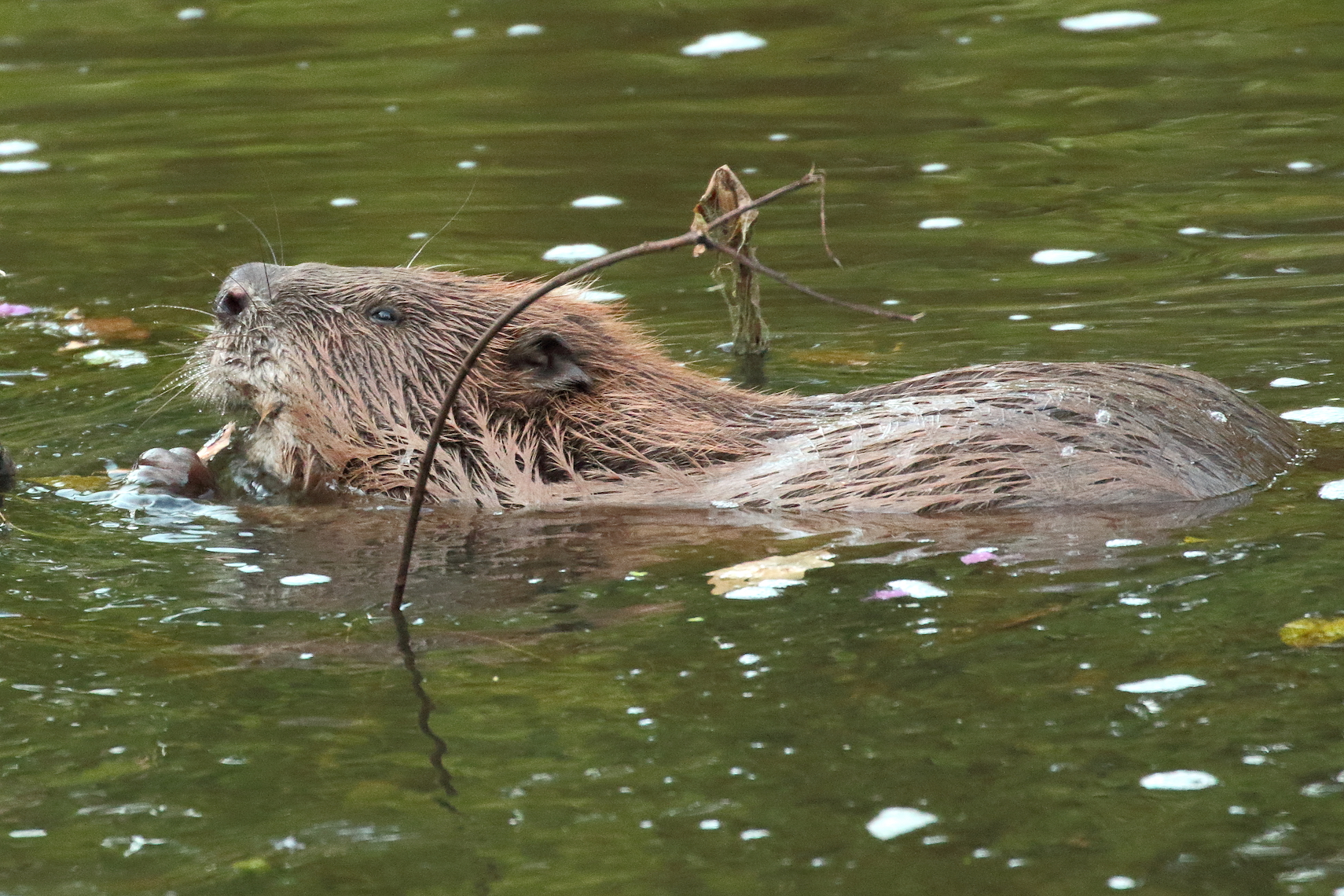 Scientists at the University of Exeter are reporting that beavers can dramatically improve the quality of water in rivers while preventing the loss of valuable soils from surrounding farms and fields.