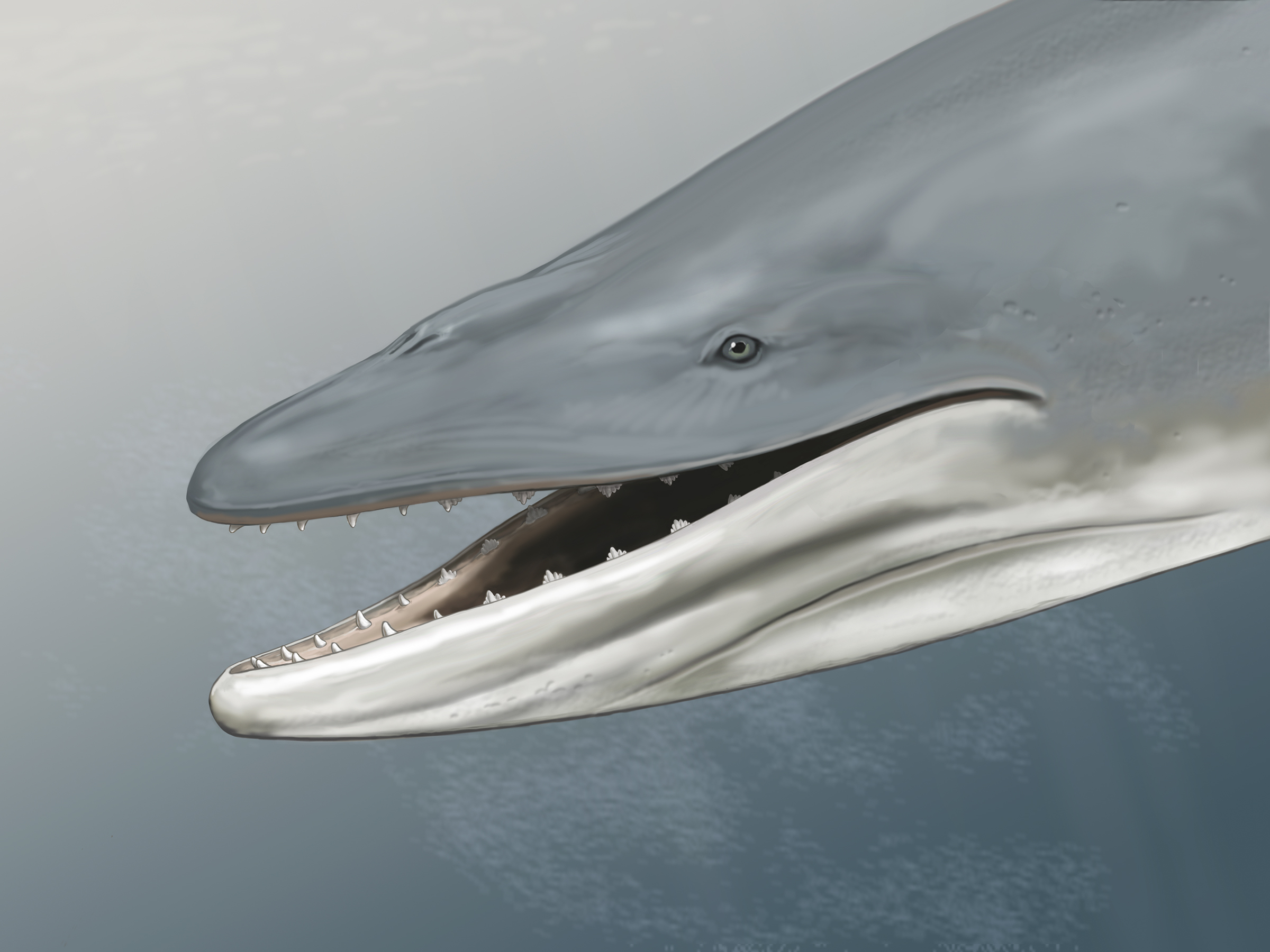 The remains of the second oldest baleen whale ever found has revealed that early whales may have not actually had baleen. The 34-million-year-old whale skull from Antarctica has well-developed gums and teeth.