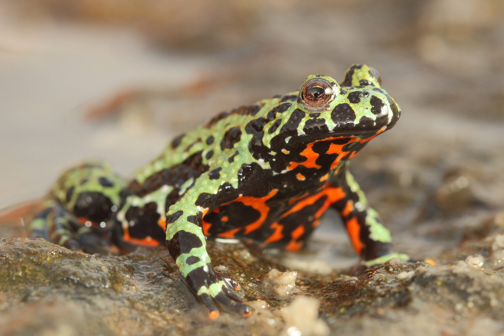 A deadly fungus – known as chytrid fungus (Batrachochytrium dendrobatidis) – has been devastating amphibian populations around the world for years.