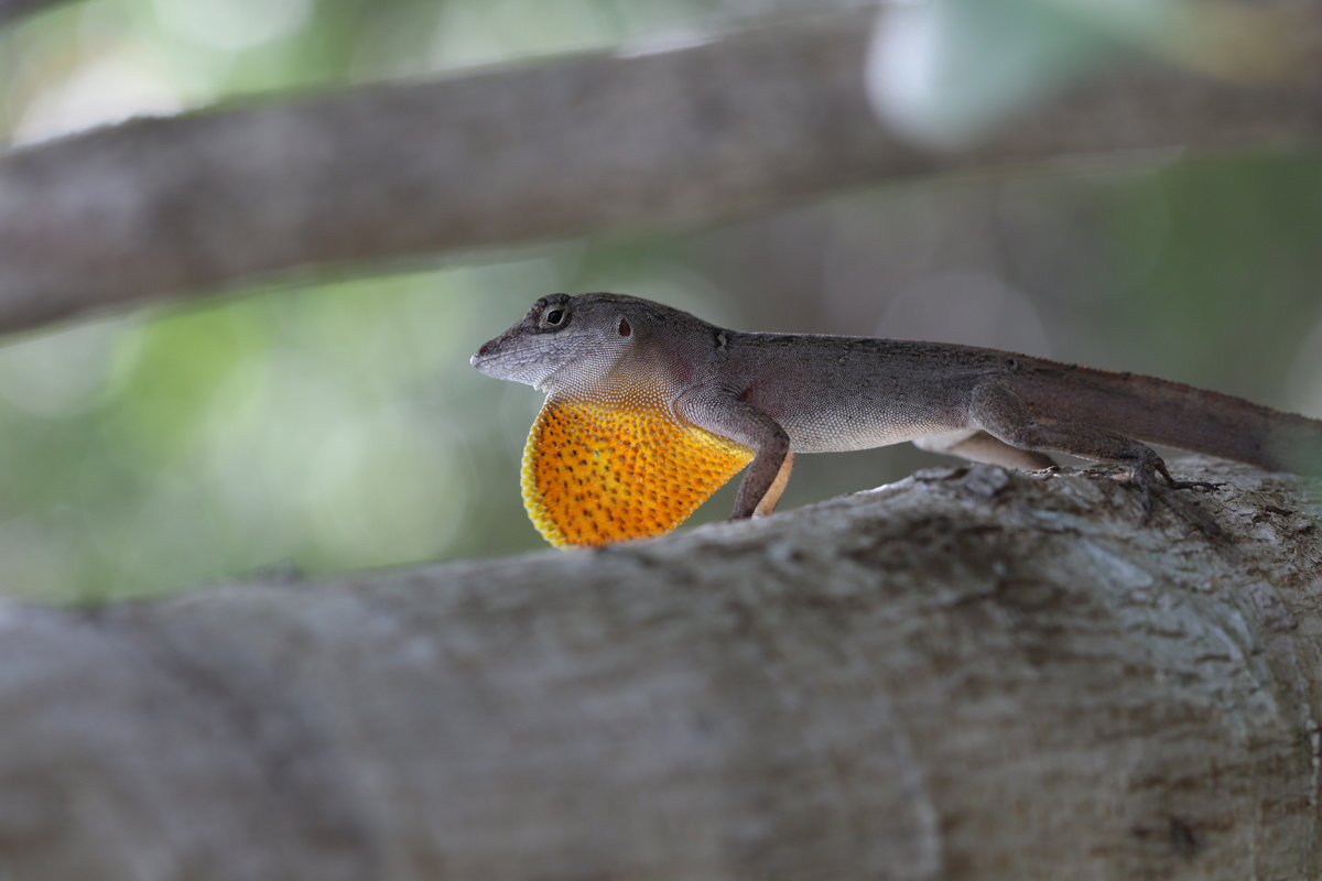 A resilient species of lizard called the Bahamian anole is unlikely to adapt quickly enough in order to keep pace with the current rate of environmental change.